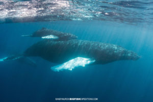 Passive encounter with a relaxed mother and baby humpback whale.