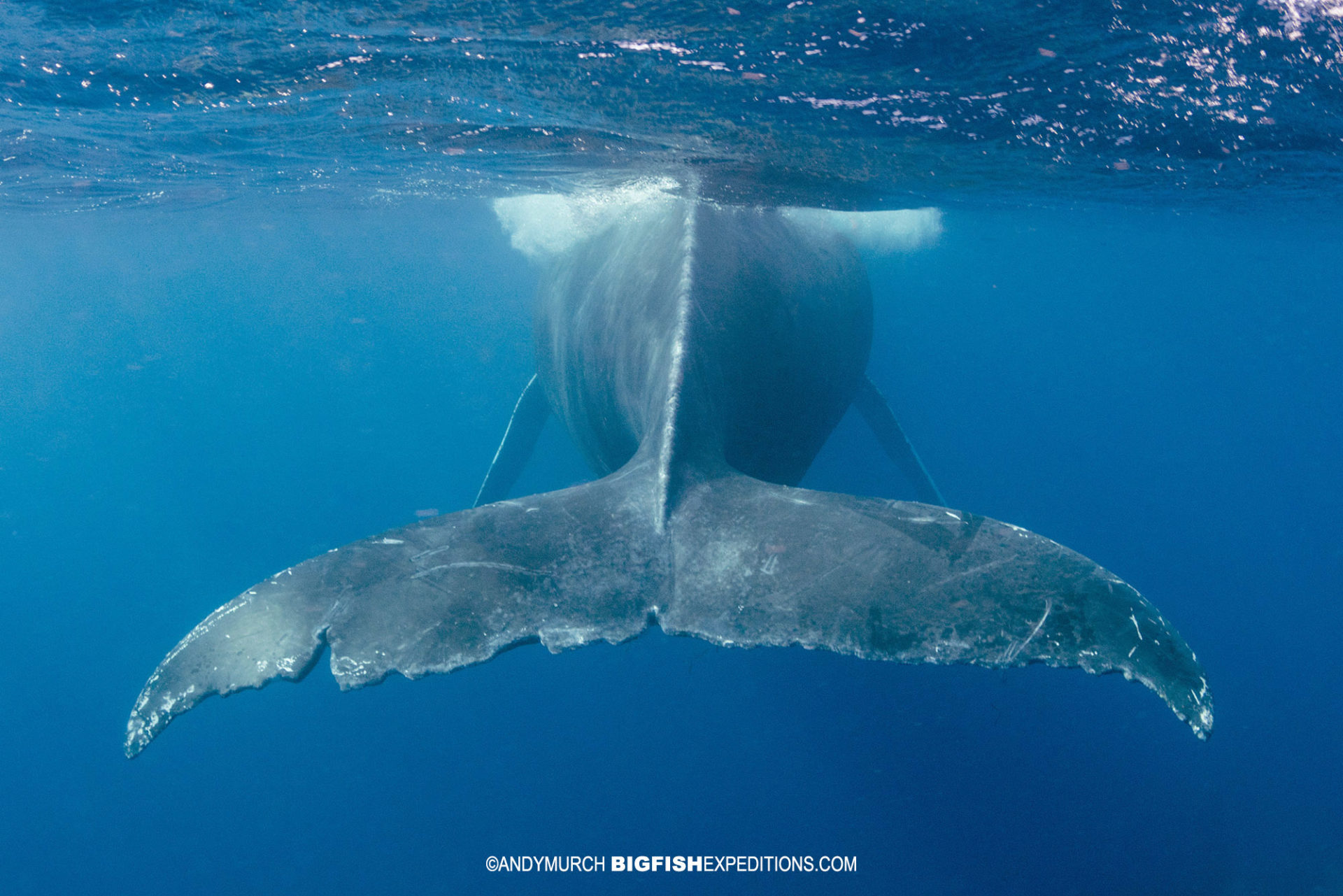 Humpback whale tail snorkeling