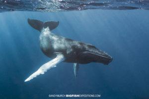 Humpback whale calf snorkeling
