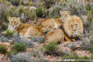 image stabilization photographing lions.