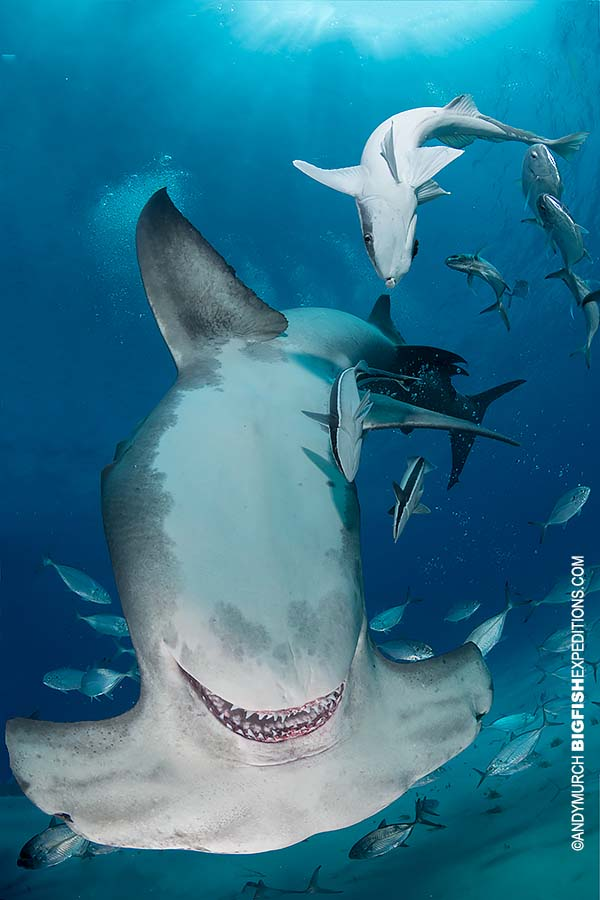 Great hammerhead shark diving