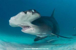 Great Hammerhead Shark Diving in Bimini