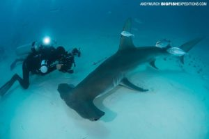 Diving with great hammerhead sharks.