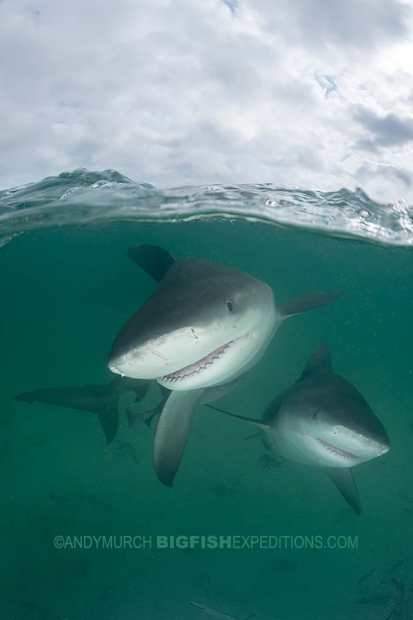 Diving with bull sharks in Bimini Island in the Bahamas.