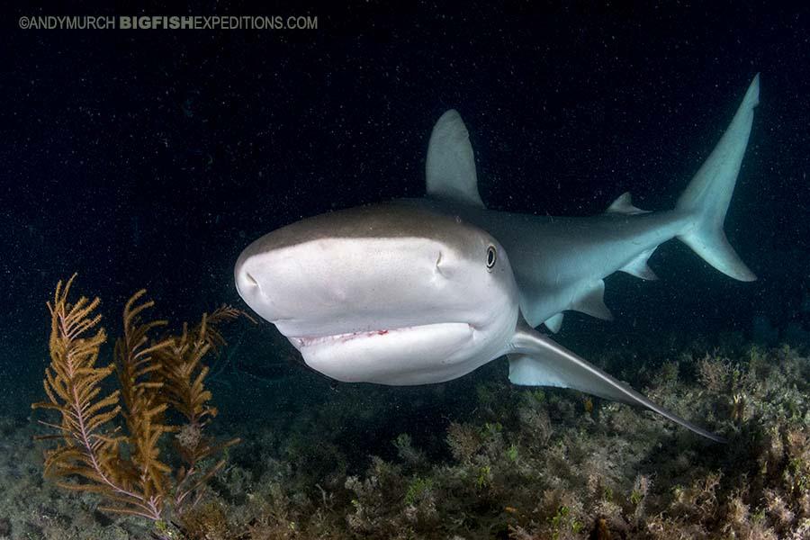 Caribbean Reef Shark diving at night.