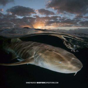 Nurse shark diving at sunset.