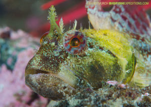 Scalyhead sculpin scuba diving and macro photography on vancouver island.