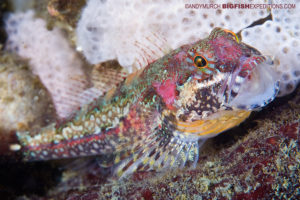 Sculpin scuba diving and macro photography on vancouver island.