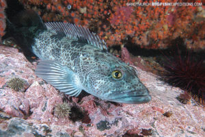 Lingcod scuba diving and macro photography on vancouver island.