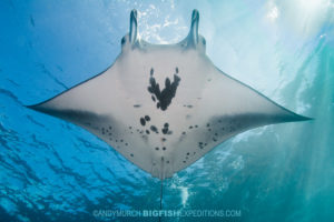 Diving with manta rays in Nuku Hiva