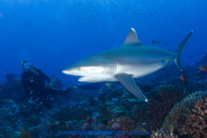 Diving with silvertip sharks in French Polynesia.
