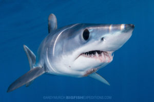 Snorkeling with makos. Shark diving.