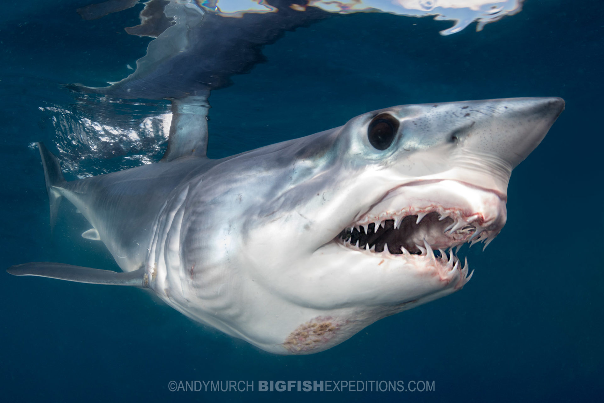Snorkeling with makos and blue sharks. Shark diving.