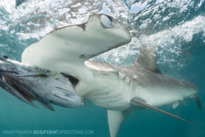 Snorkeling with smooth hammerhead sharks.