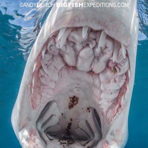 Snorkeling with shortfin makos. Shark diving.
