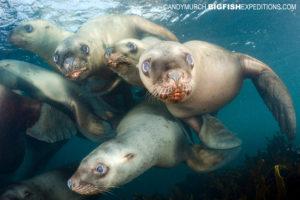 Steller Sea Lions, Eumetopias jubatus, aka northern sea lion, Race Rocks, British Columbia