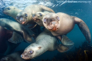 Steller sea lion scuba diving and macro photography on vancouver island.