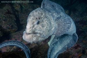 Wolf eel diving