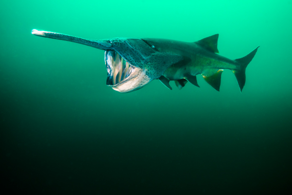 Paddlefish diving by Jennifer Idol