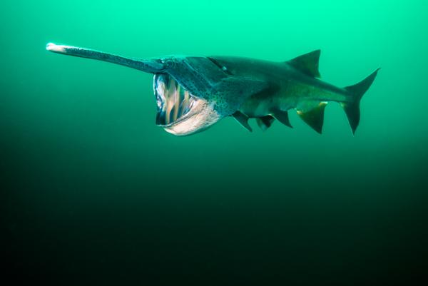 Paddlefish diving by Jennifer Idol