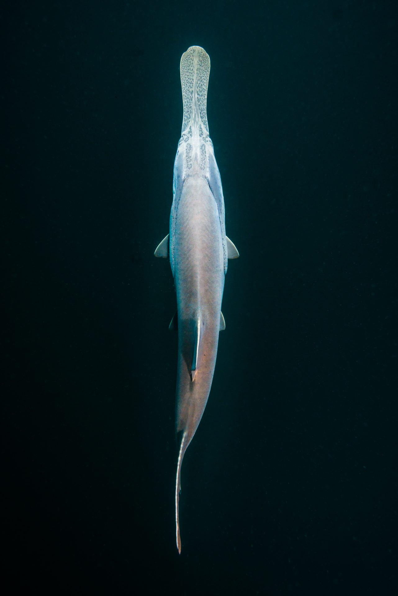 Overhead of paddlefish by Jennifer Idol