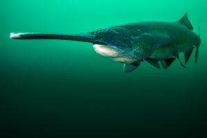 Mid water paddlefish by Jennifer Idol
