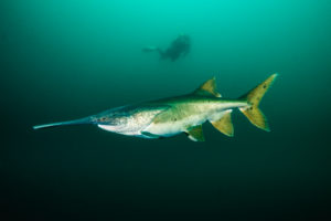 Diving with paddlefish