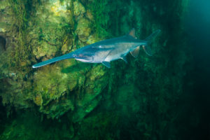 Paddlefish descending near shore by Jennifer Idol