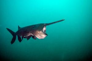 Feeding paddlefish by Jennifer Idol