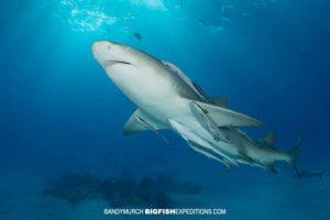 Diving with lemon sharks at Tiger Beach.