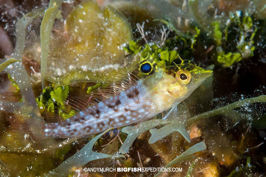 Diamond blenny at Tiger Beach