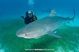 Scuba diving with tiger sharks at Tiger Beach.