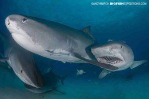 Feeding Tiger Sharks