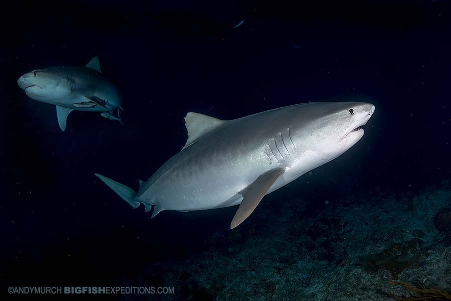 Night diving with Tiger Sharks at Tiger Beach.