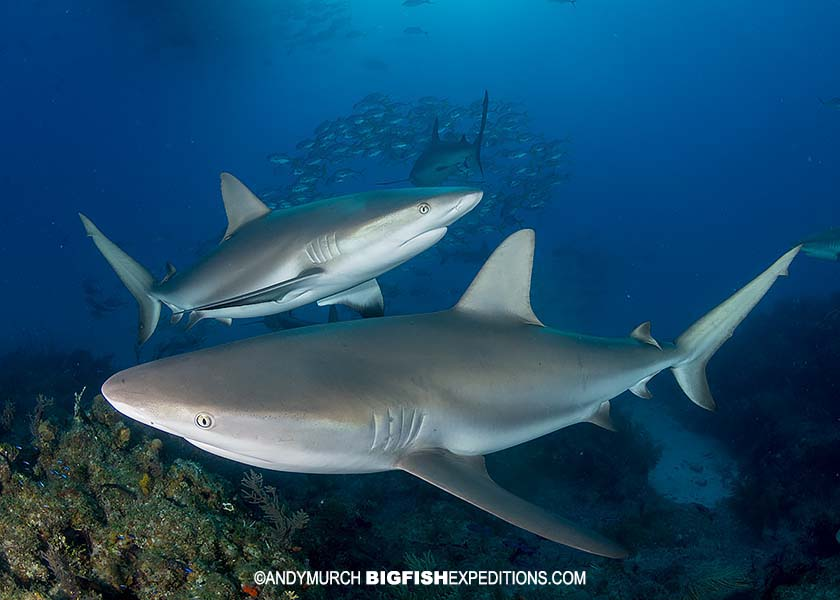 Caribbean Reef Sharks at Fish Tales.
