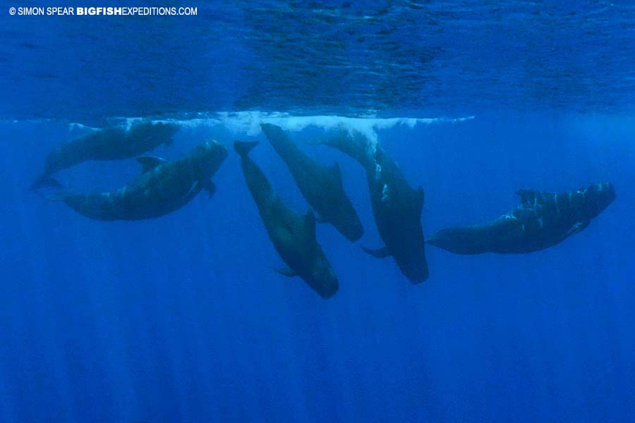 Snorkeling with pilot whales and false orcas.