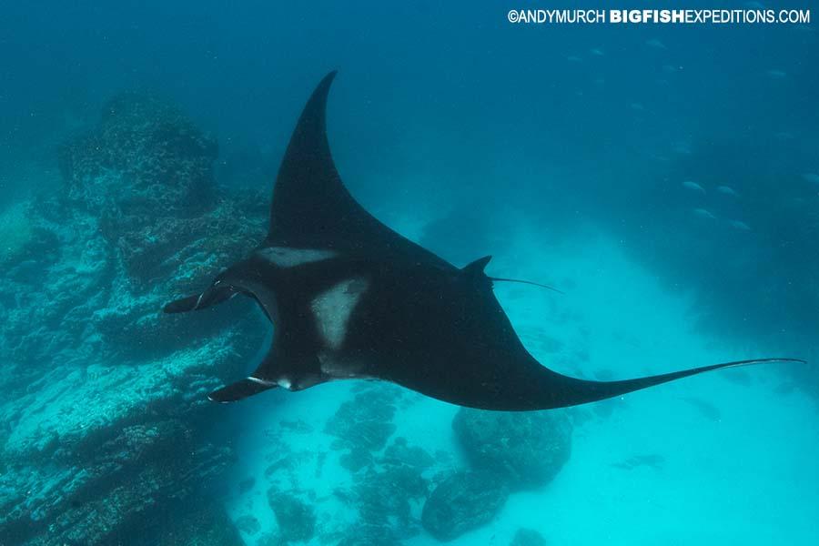 Humpback whale diving in Costa Rica
