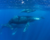 Diving with Humpback Whales in Costa Rica.