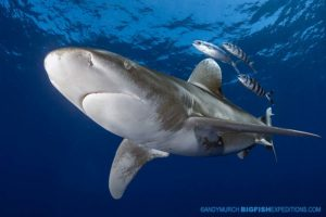Diving with Oceanic whitetip sharks.