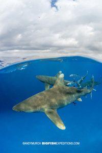 Oceanic Whitetip shark over under.