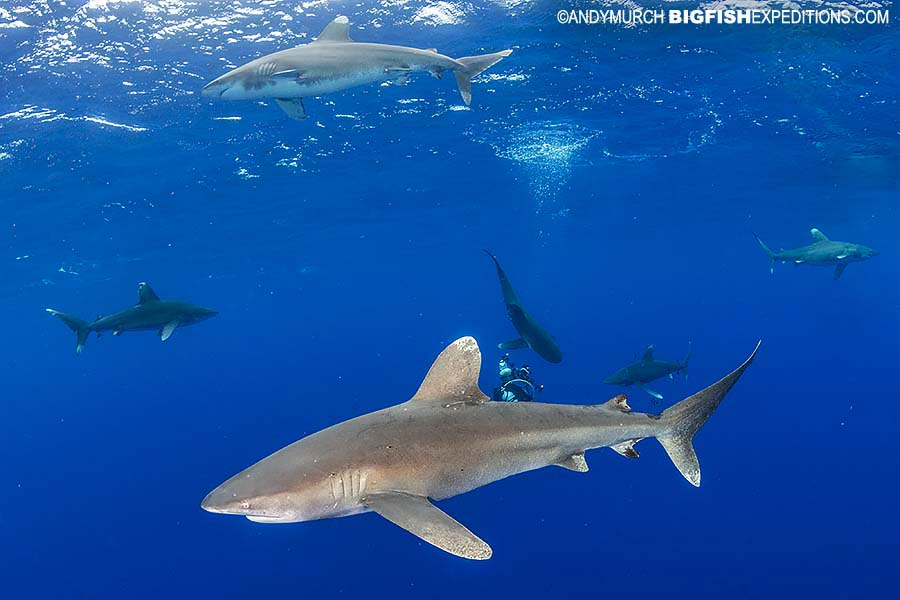 Diving with lots of oceanic whitetip sharks.