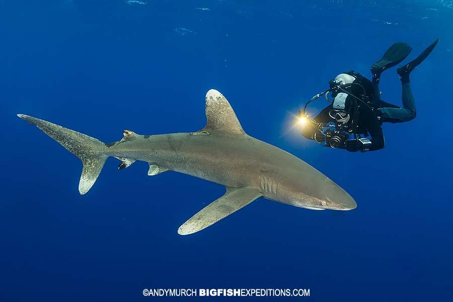 Diver with Oceanic Whitetip Shark