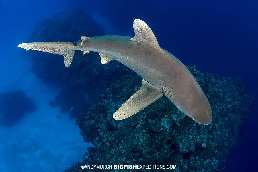 Oceanic whitetip shark on the reef