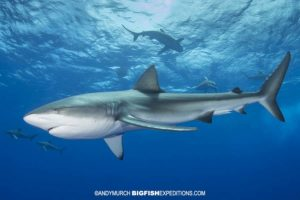 Diving with dusky sharks