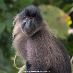 Mangabey Monkey in Uganda