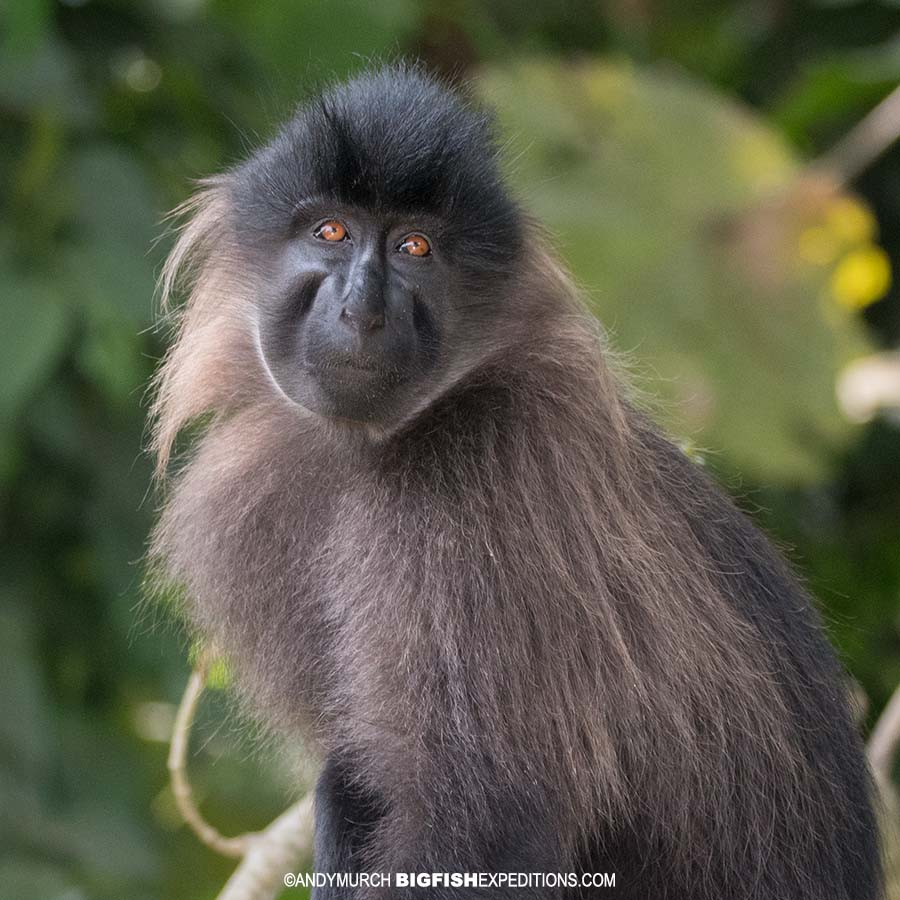 Mangabey Monkey in Uganda