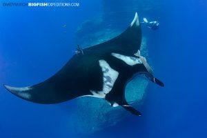 Socorro Manta diving