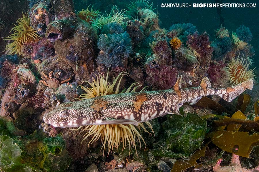 Diving with puffadder shy sharks on the South African Shark Safari 2019.