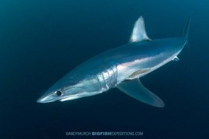 Diving with mako sharks on the South African Shark Safari 2019.