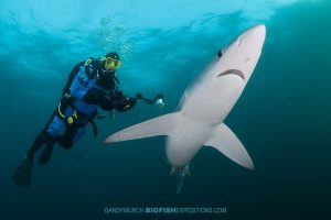 Diving with blue sharks on the South African Shark Safari 2019.